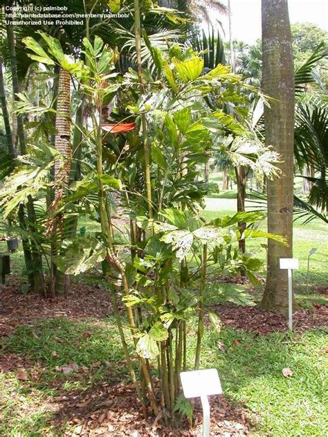 Synonyms For Garden by Plantfiles Pictures Palm Hydriastele Pinangoides By Palmbob