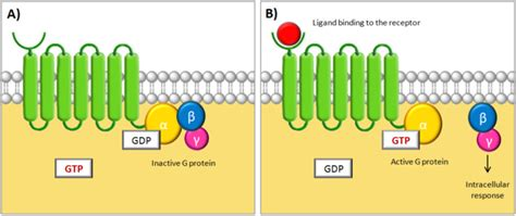 Team:Chalmers-Gothenburg/Theory - 2012.igem.org G Protein Coupled Receptors Gpcrs