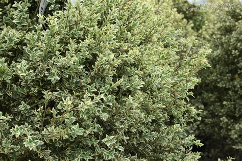evergreen foliage plants s photo gallery plants 187 shrubs evergreen