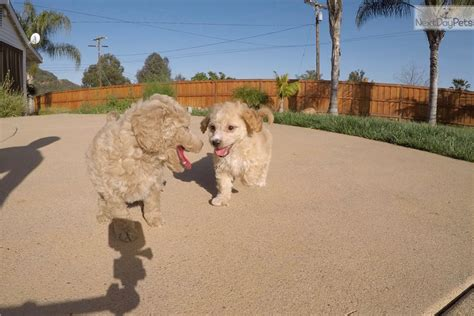 goldendoodle puppy diet raquel goldendoodle puppy for sale near san diego