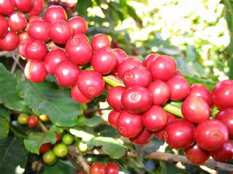 Xo Coffee Robusta c 224 ph 234 c 226 y cảnh hoa cảnh bonsai h 242 n non bộ s 226 n vườn tiểu cảnh c 226 y cảnh vn