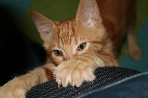 How Do I Stop Cat From Scratching The by 10 Ways To Prevent Furniture Scratching By Cats Petful