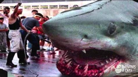 hippo chasing boat real or fake megalodon shark caught by japanese fisherman real or fake