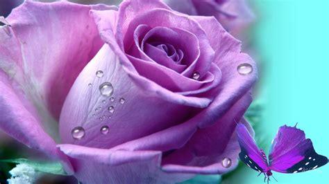 imagenes de rosas lilas que significa regalar una rosa lila imagenes de rosas