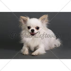 haired chihuahua haircuts haircuts for long hair chihuahuas
