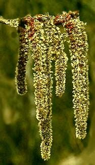 fiori di bach aspen populus tremula aspen fiore di bach cosa 232 e a cosa