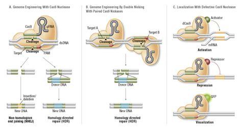 Crispr Cas9 Targeted Genome Editing New Era In Molecular Biology Neb Crispr Repair Template