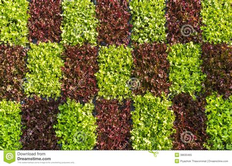 Vertical Garden Lettuce by Vertical Vegetable Gardening Royalty Free Stock Photo