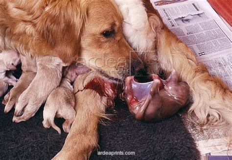 golden retriever whelping golden retriever whelping showing puppy in amniotic