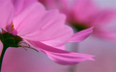 pink flower desktop lovely pink flower hd widescreen desktop wallpaper