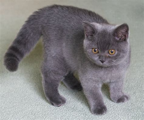 Kucing Shorthair jenis kucing adearisandi s