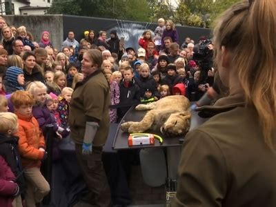 raw: denmark zoo dissects lion in front of crowd