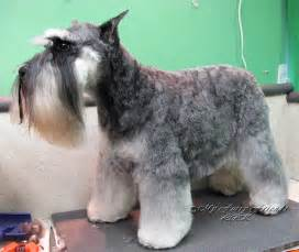 schnauzer hair styles pet grooming the good the bad the furry different