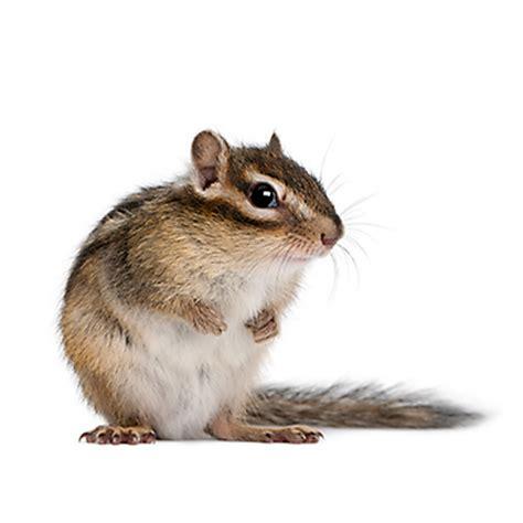 how to repel chipmunks chipmunk repellents havahart us