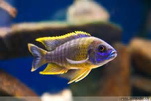 most colorful cichlids cichlid forum mbuna vs haps pictures