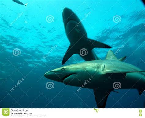 baby shark x2 shark family in ocean stock image image of ponta close