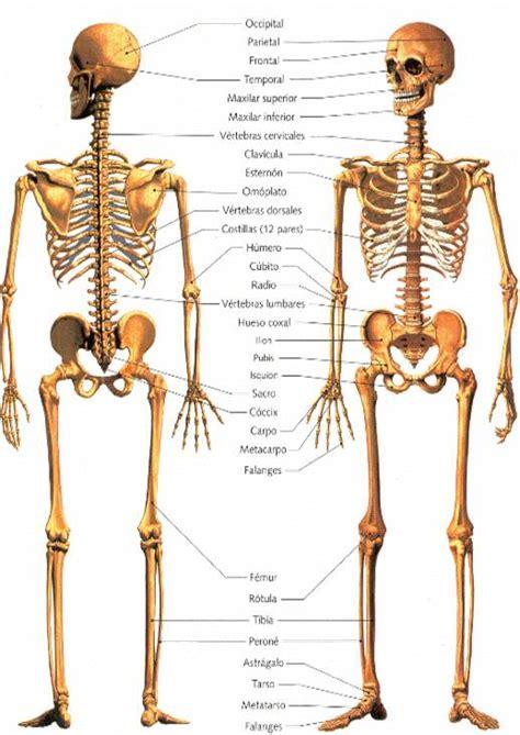 cuerpo humano 206 huesos del cuerpo humano related keywords 206 huesos del cuerpo humano long tail keywords