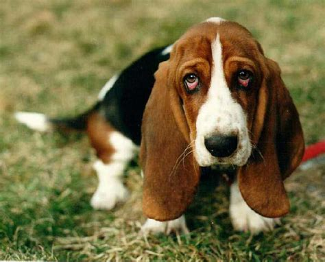 hound dogs breeds basset hound breed 187 information pictures more