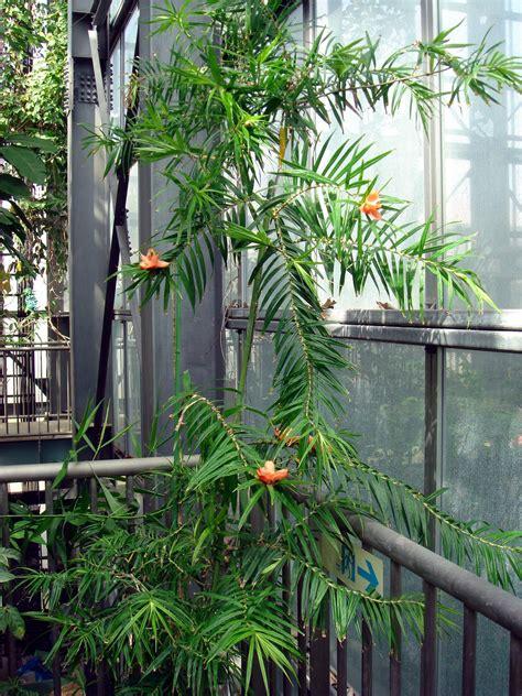 Tropical Climbing Plant - freycinetia cumingiana gaudichaud beaupr 233