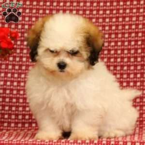 teddy puppies for sale in pa shichon teddy puppies for sale in de md ny nj philly dc and baltimore
