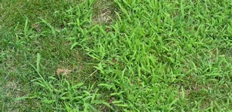 what does it get light out in pa crabgrass on your lawn what to expect what it means