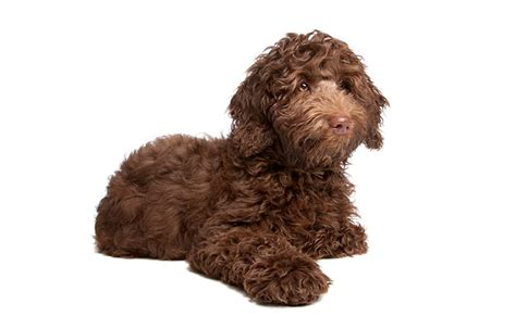 popular poodle names 250 poodle names more my s name