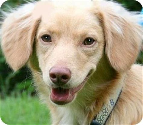 golden retriever dachsund kirby our quot golden quot adopted wakefield ri golden retriever dachshund mix