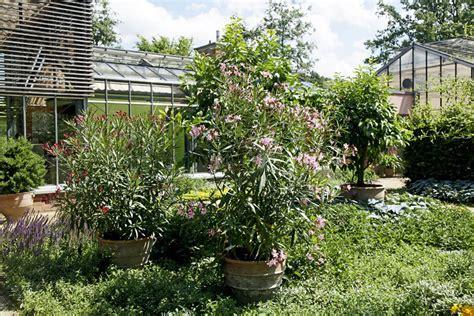 oleander standort garten oleander im botanischen garten g 252 tersloh stadtpark g 252 tersloh
