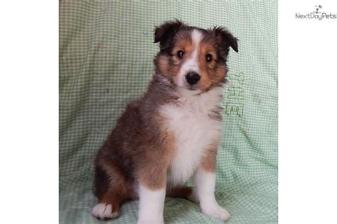 sheltie puppies for sale in indiana handsome m in northeast indiana shetland sheepdog sheltie puppy for sale