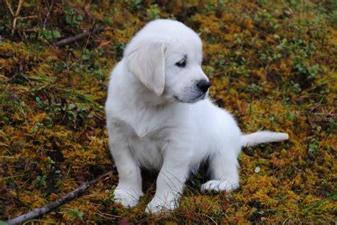 golden retriever pennsylvania golden retriever puppies for free in pennsylvania breeds picture