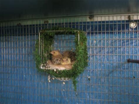 accoppiamento cardellini in gabbia nido a casetta modello 2 gr