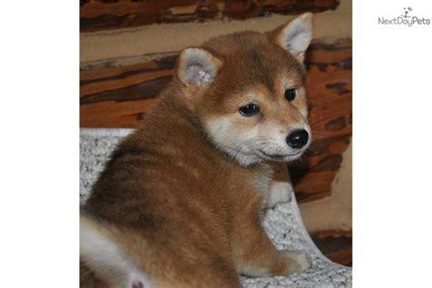 shiba inu puppies for sale oregon shiba inu puppy for sale near eugene oregon 5c476888 2651