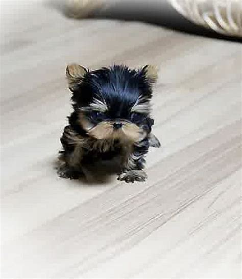 puppies for sale near me craigslist baby yorkies for sale 100