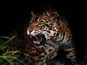 Jaguars Con Superpredadores Jaguar