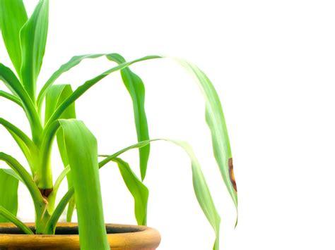 Yucca Palme Krankheiten 4812 by Yucca Palme Hat Braune Flecken 187 Was Fehlt Der Palmlilie