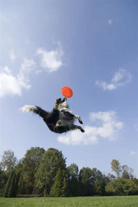 dogs catching frisbees animals