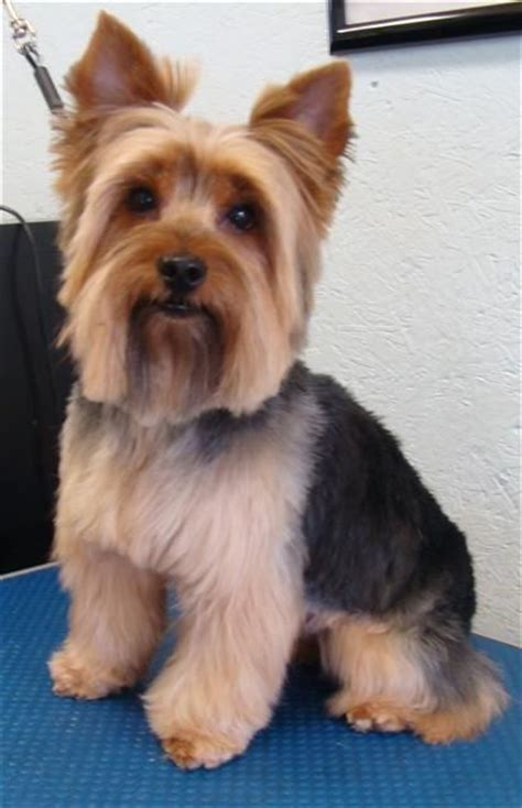 hairstyles for yorkies 1000 images about yorkies haircuts on pinterest gifts