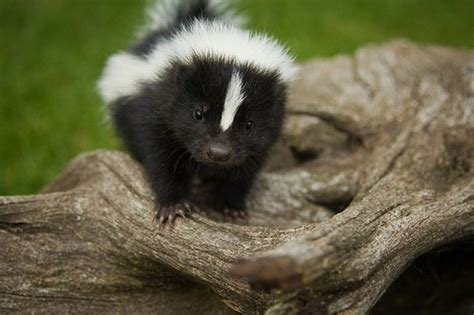 baby skunk cute living things pinterest