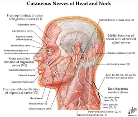 diagram of nerves in neck transcription february 2012