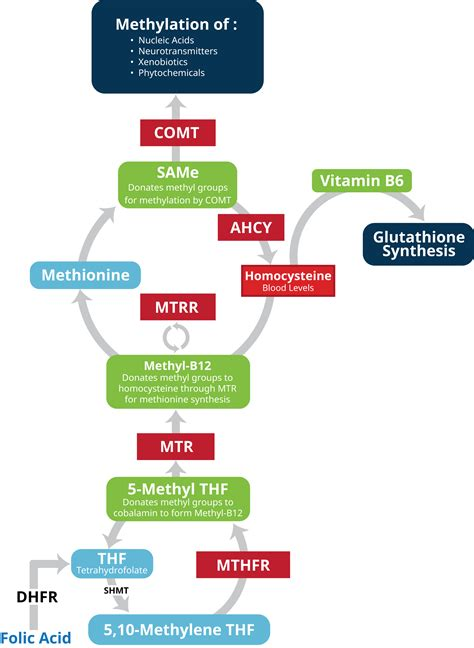 Detox Mtfhr by Why Mthfr Testing Alone Is Not Enough Cell Science Systems
