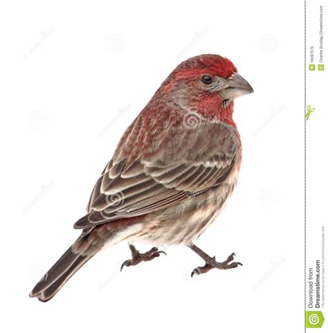 mexican house finch house finch carpodacus mexicanus isolated royalty free stock image image 18297576
