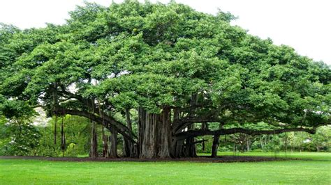 strangler fig banyan tree youtube