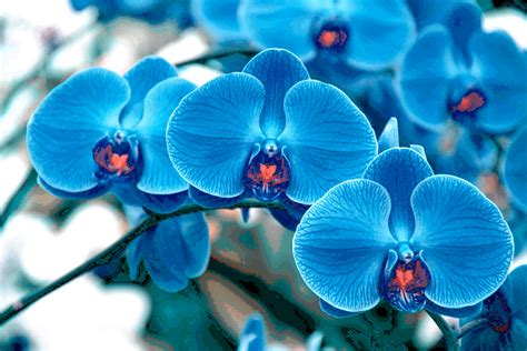 blue orchid blue orchid wallpapers images photos pictures backgrounds