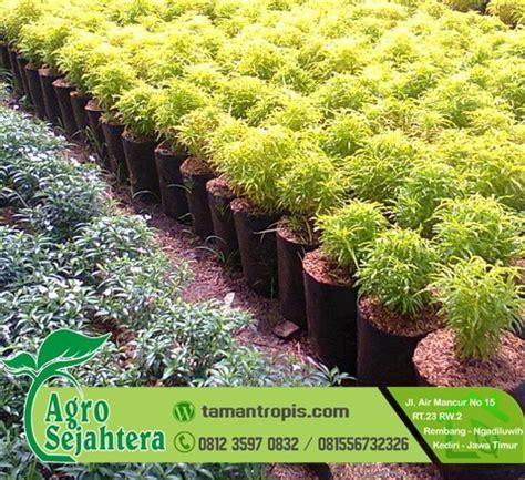 Tempat Jual Bibit Bunga Kamboja jual tanaman hias bunga brokoli