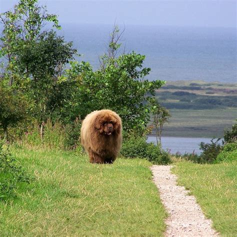 newfoundland puppies ma 25 best ideas about newfoundland dogs on big dogs big breeds