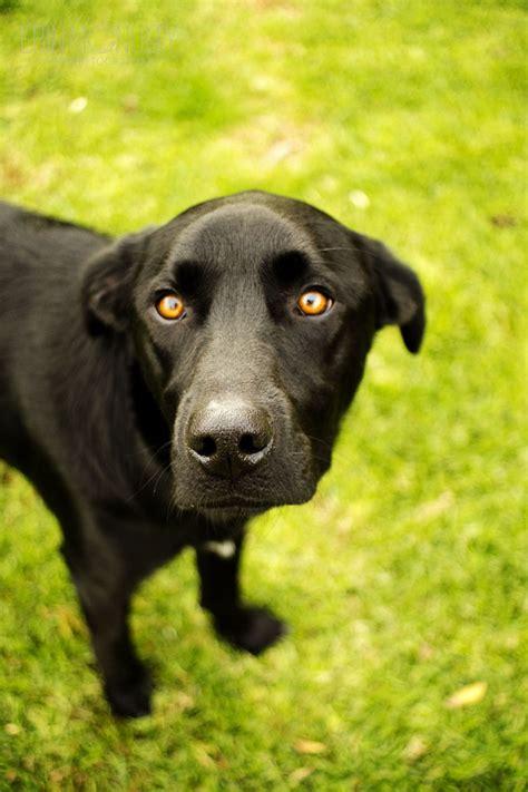 kelpie x rottweiler puppies for sale labrador x for sale melbourne photo