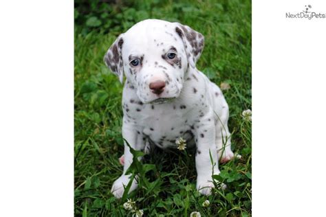 dalmatian puppies for sale in ky dalmatian puppy for sale near eastern kentucky kentucky 2d95d08b 96c1