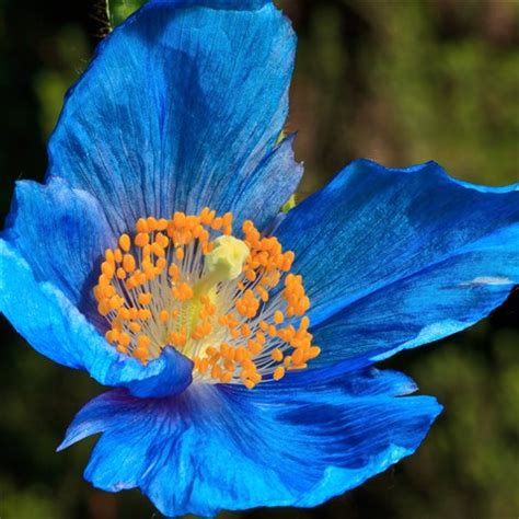 blue poppy: dlgodwin: galleries: digital photography