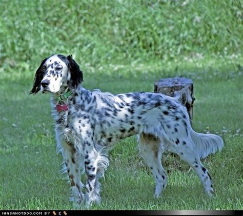 setter dog a e e 238 best dogs english setter engelse images on pinterest