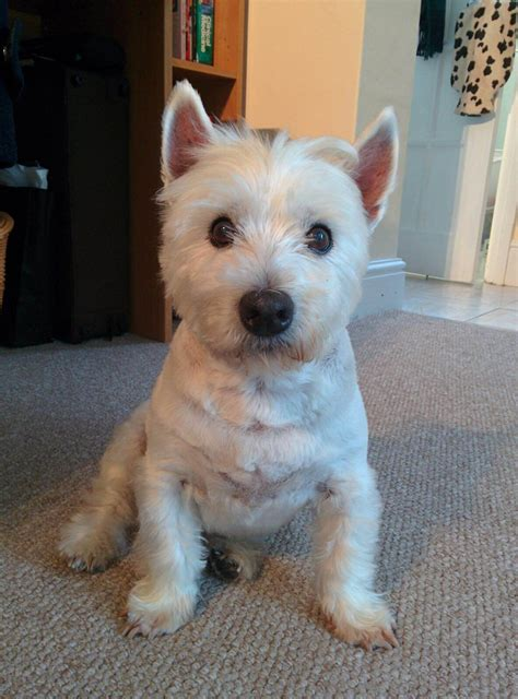 different haircuts for westies short haircuts for westies overview for bawpsherep